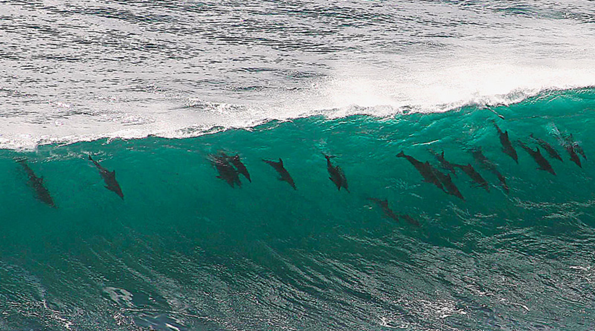 Dolphins appear to enjoy surfing much like humans.