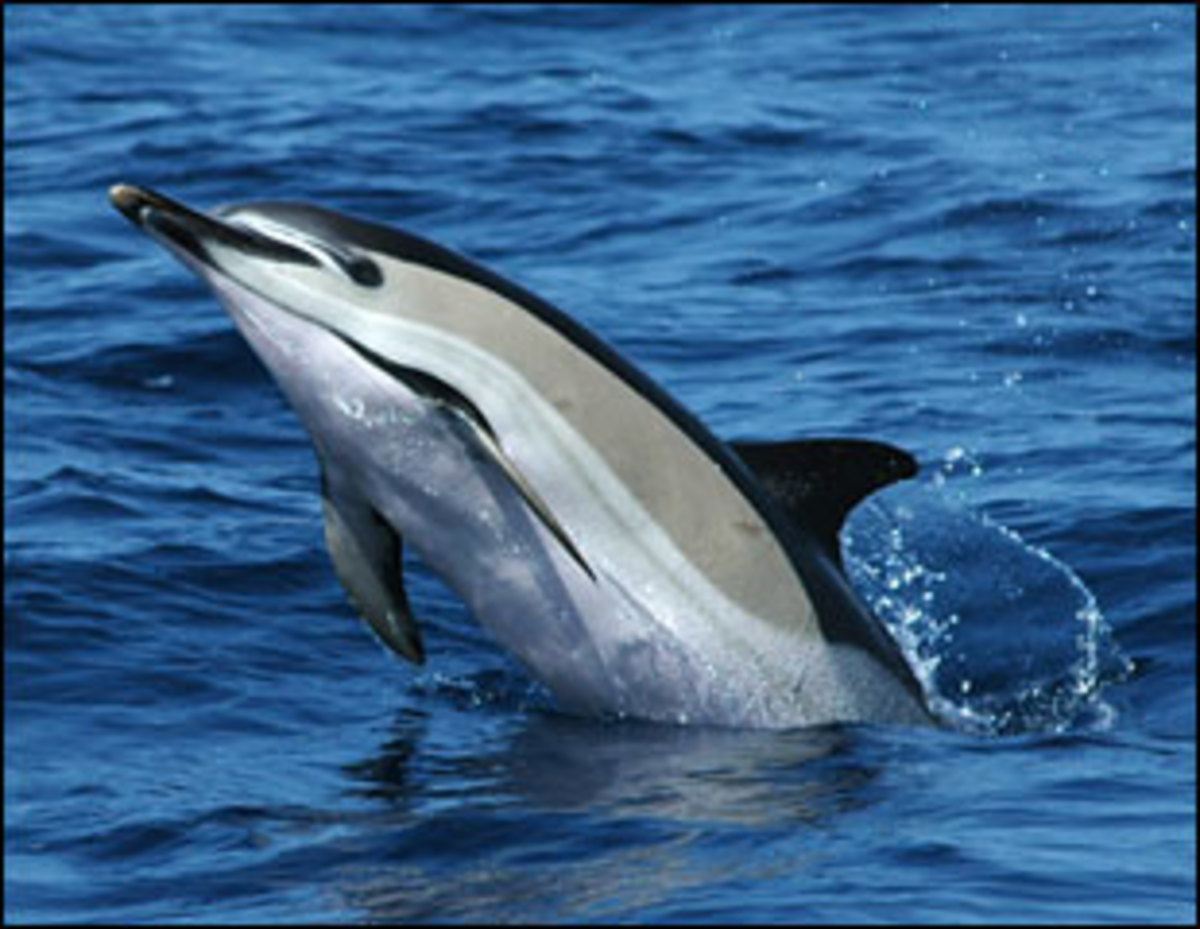 A common dolphin with beautiful markings.