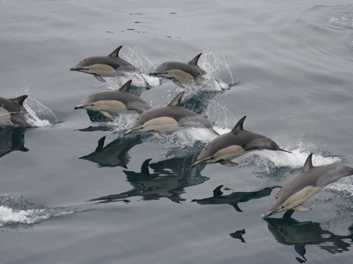 A group of common dolphins.