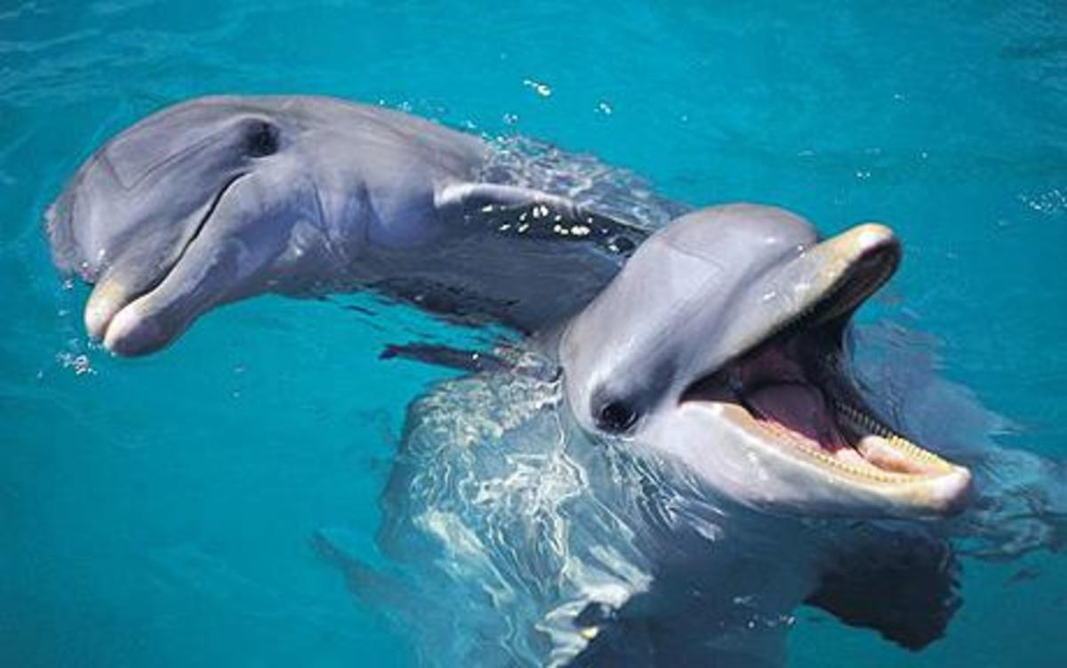 Two bottlenose dolphins.