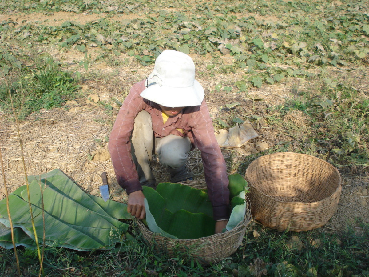 A woman in a field gathering leaves for a meal. Often times Khmer Cambodian people wrap rice (bai) and other ingredients such as hot chili peppers, meat, fish, and spices in the leaves. Once cooked, it's great to dip into dipping sauces!