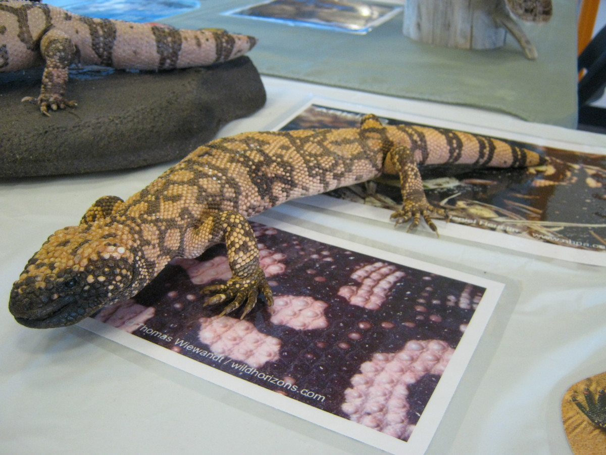 "Gila Monster (pronounced ""hee-la"") - picture taken at Red Rock Canyon Visitors Center."