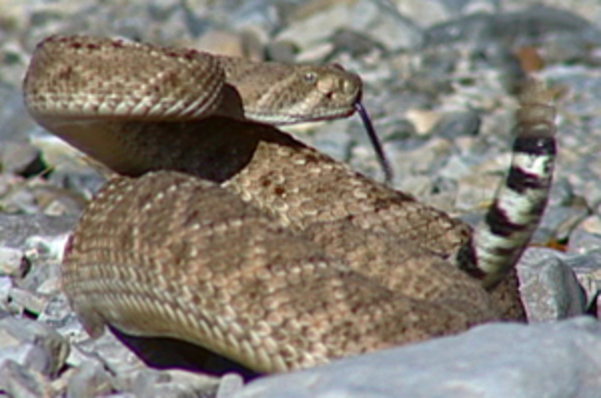 "Western Diamondback - their tail is referred to as a ""coon"" tail for obvious reasons, the ring pattern on the tail."
