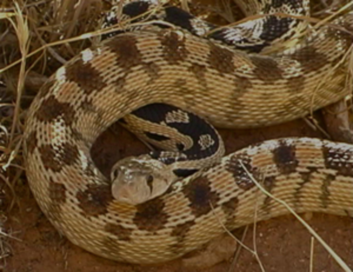 """Gopher"" snake, a harmless snake that is often mistaken for a rattlesnake."