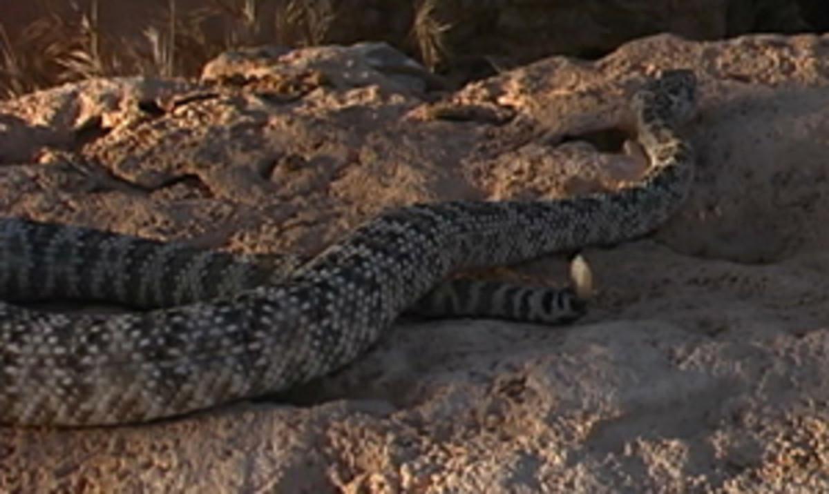 Southwest Speckled Rattlesnake