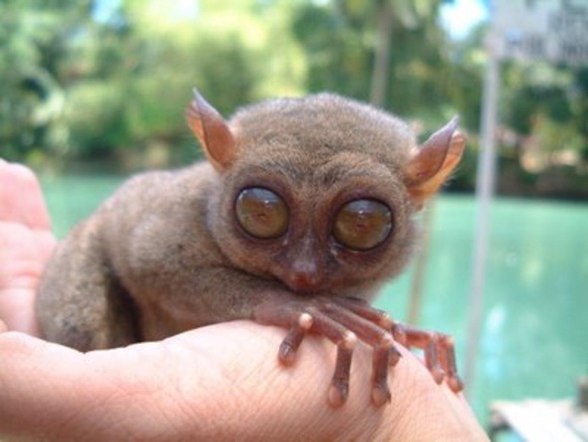Pygmy tarsier, rarest primate in the world