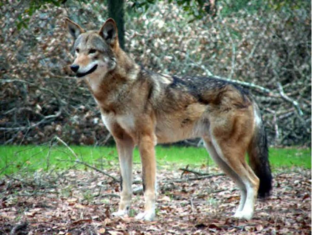 Red wolf: Rarest wolf in the world