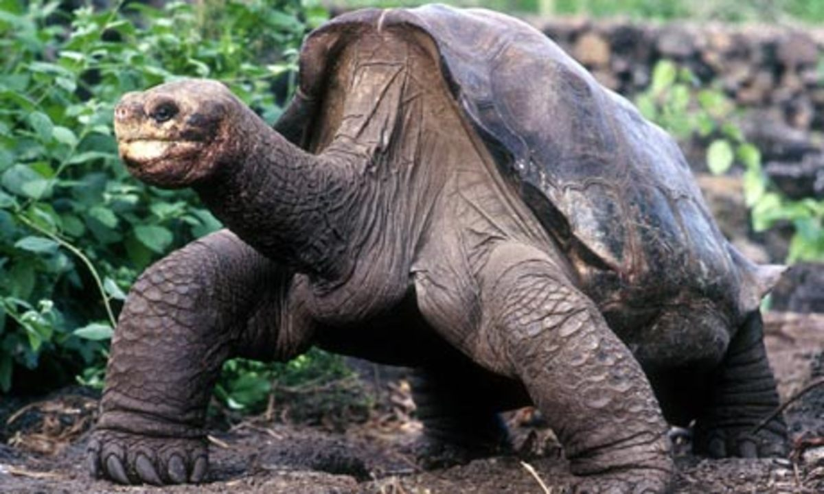 Lonesome George: Rarest animal in the world