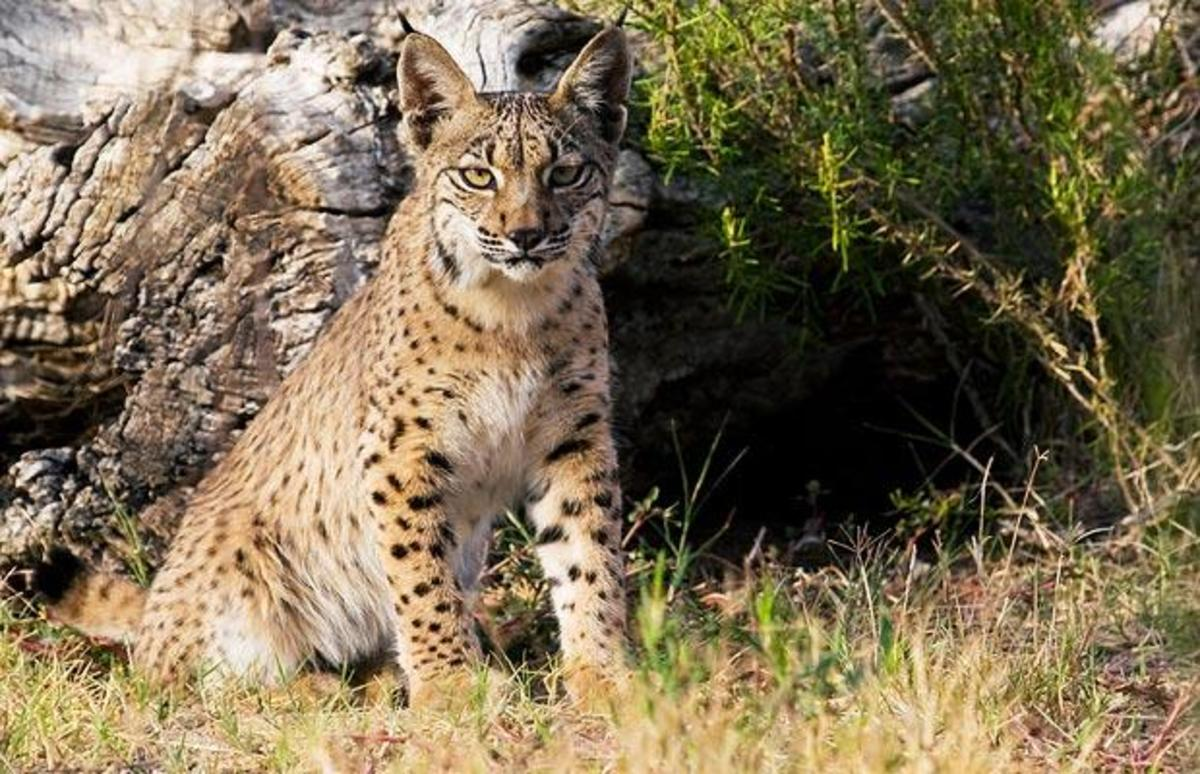 Iberian Lynx: World's rarest cat