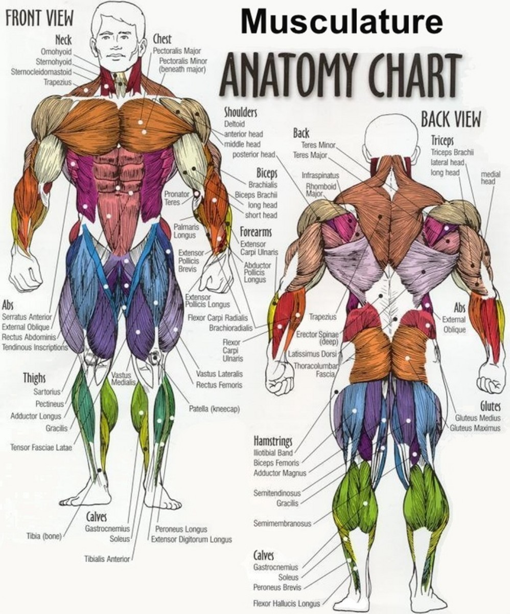 Anatomy Chart of Muscles on a Male Body