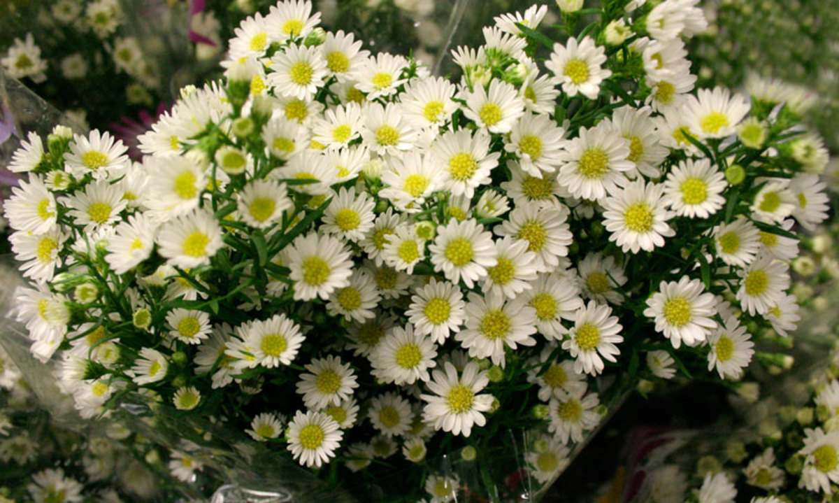 how to grow monte cassino aster  hubpages, Beautiful flower