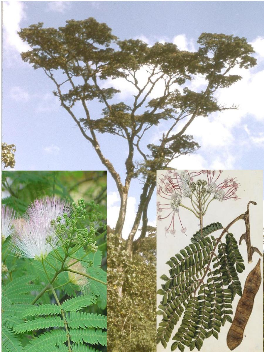 Mukurwe Tree (Albizia gummifera Mimosaceae). Gikuyu would make important rulings, under this tree, that could impact the entire Kikuyu people. Image Credit Worldbotanical/prota4u.org/wikimedia Commons