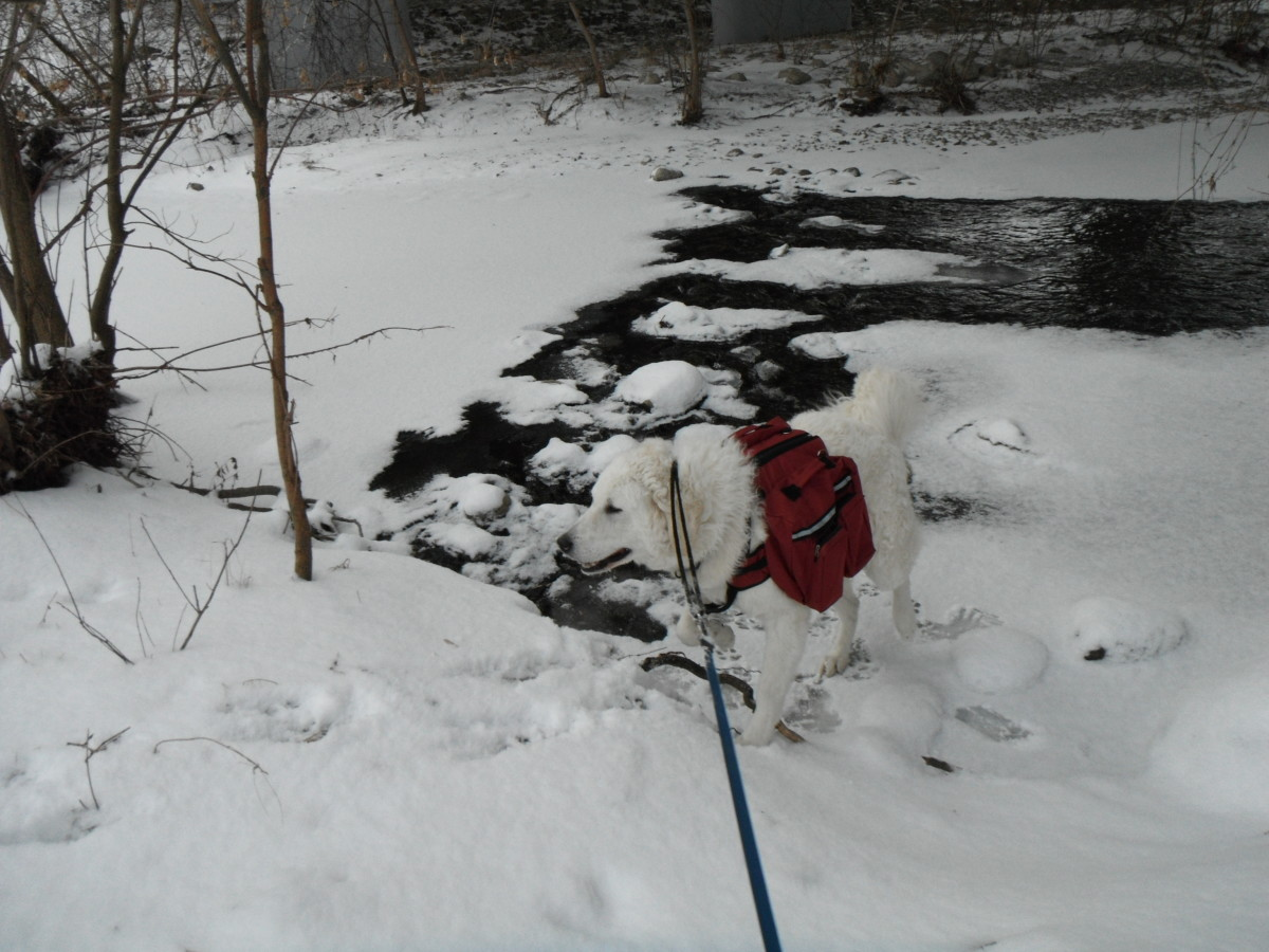 K2, the Great White, exploring frozen creek.