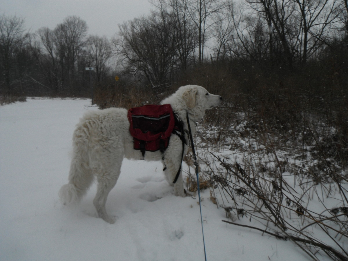 K2 shows his guardian instinct during a winter hike.