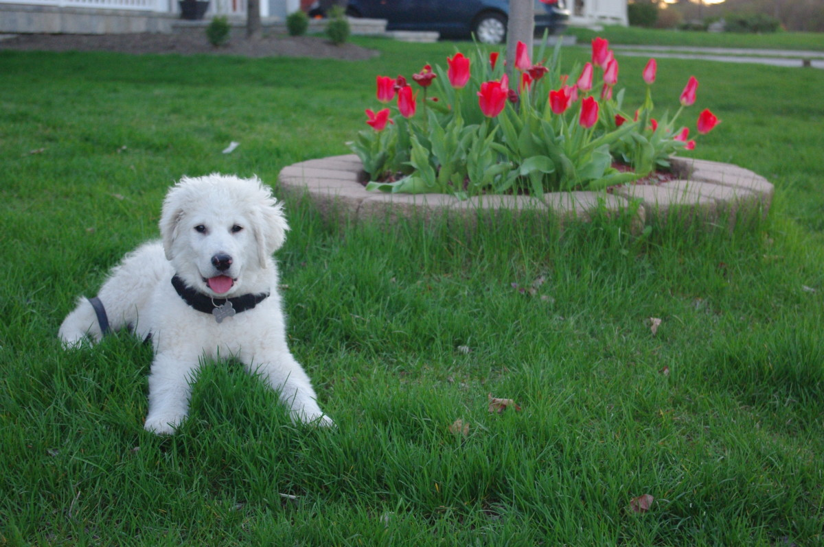 K2 at 3 months with May Tulips.