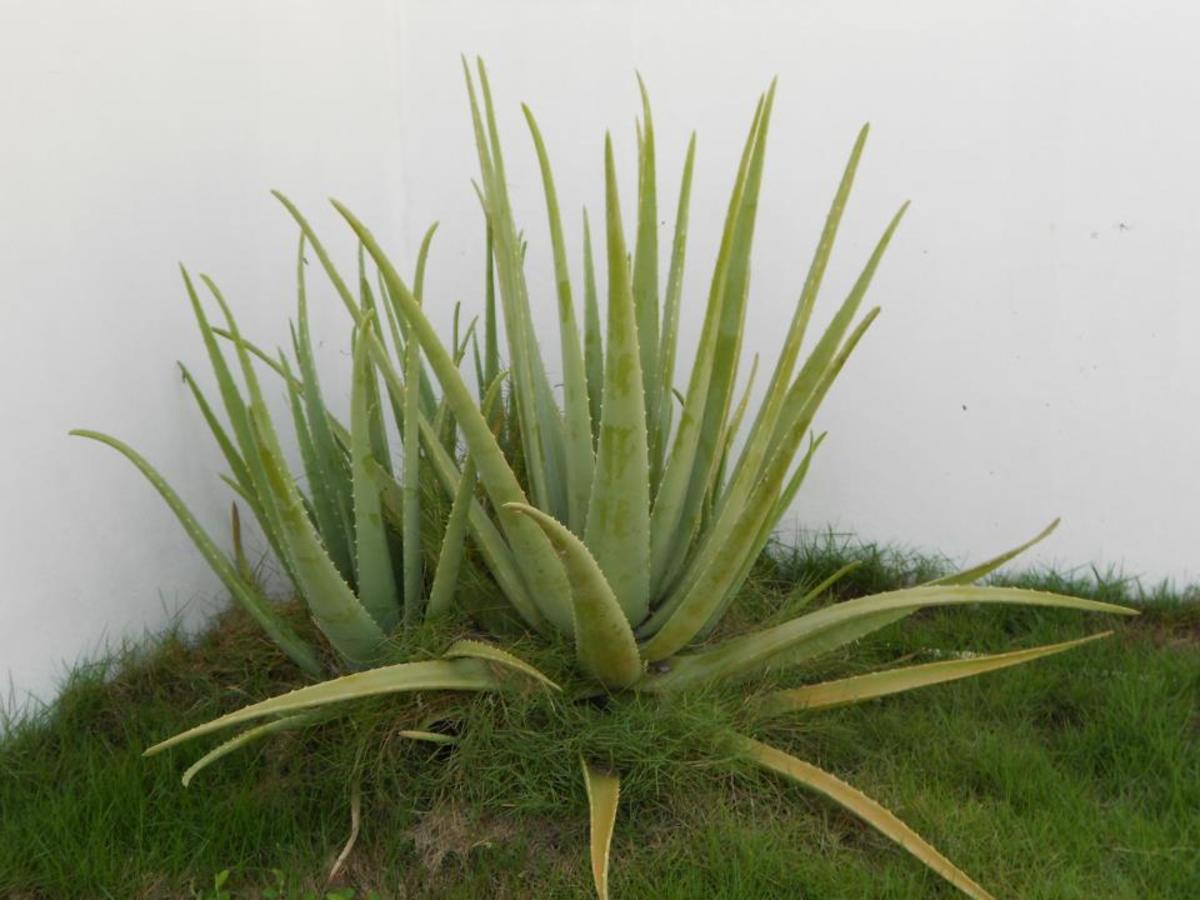 I haven't taken the time to groom my aloe vera plants