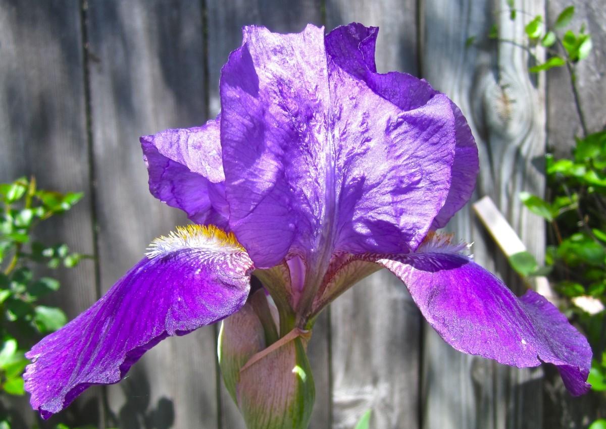 Renoir's Favorite: Iris Nepalenses Purple King from 1830