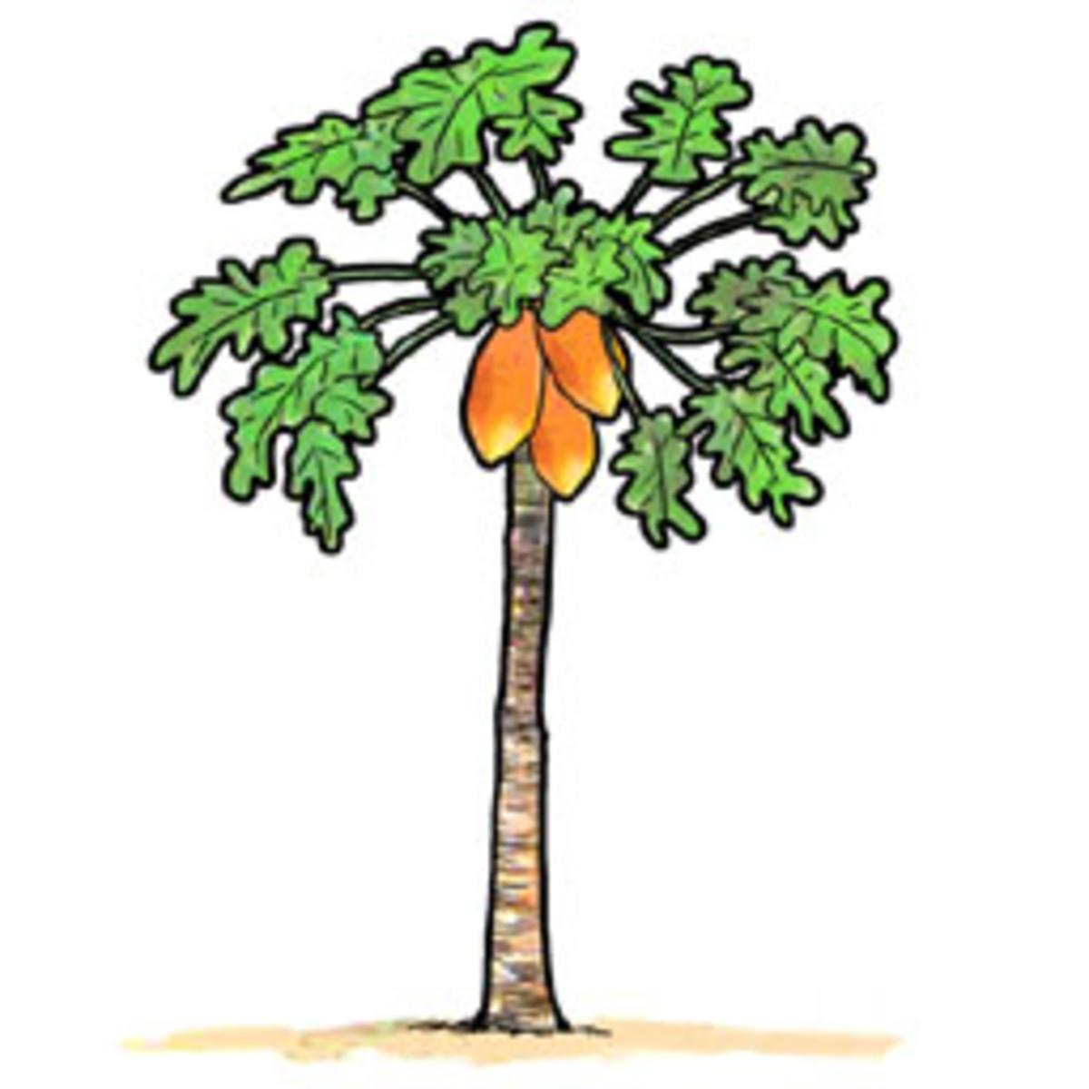 the-legend-of-papaya