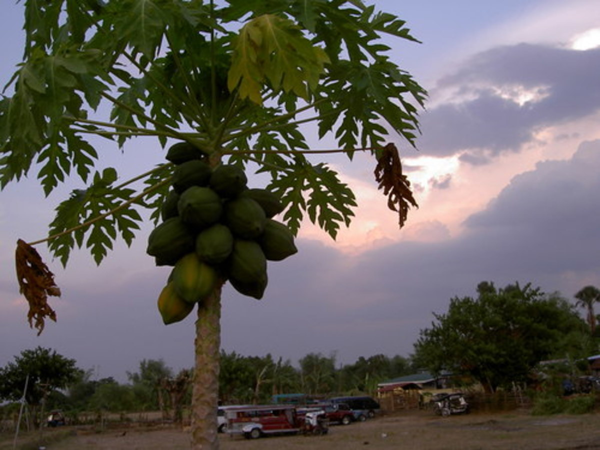 From being called papay, the tree is now what we know as papaya.