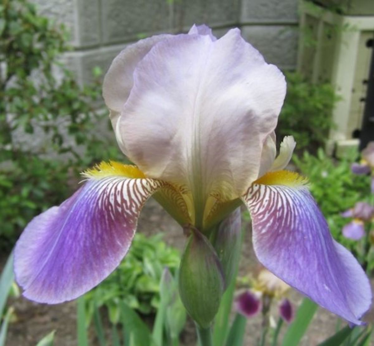 Iris Sindjkha was hybridized by Grace Sturtevant in 1918.
