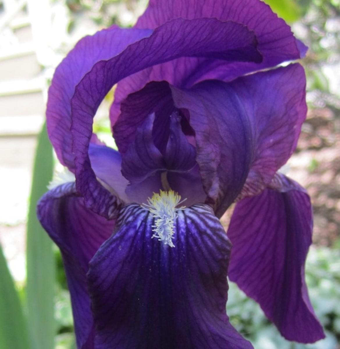 my-victorian-garden-growing-heirloom-bearded-iris