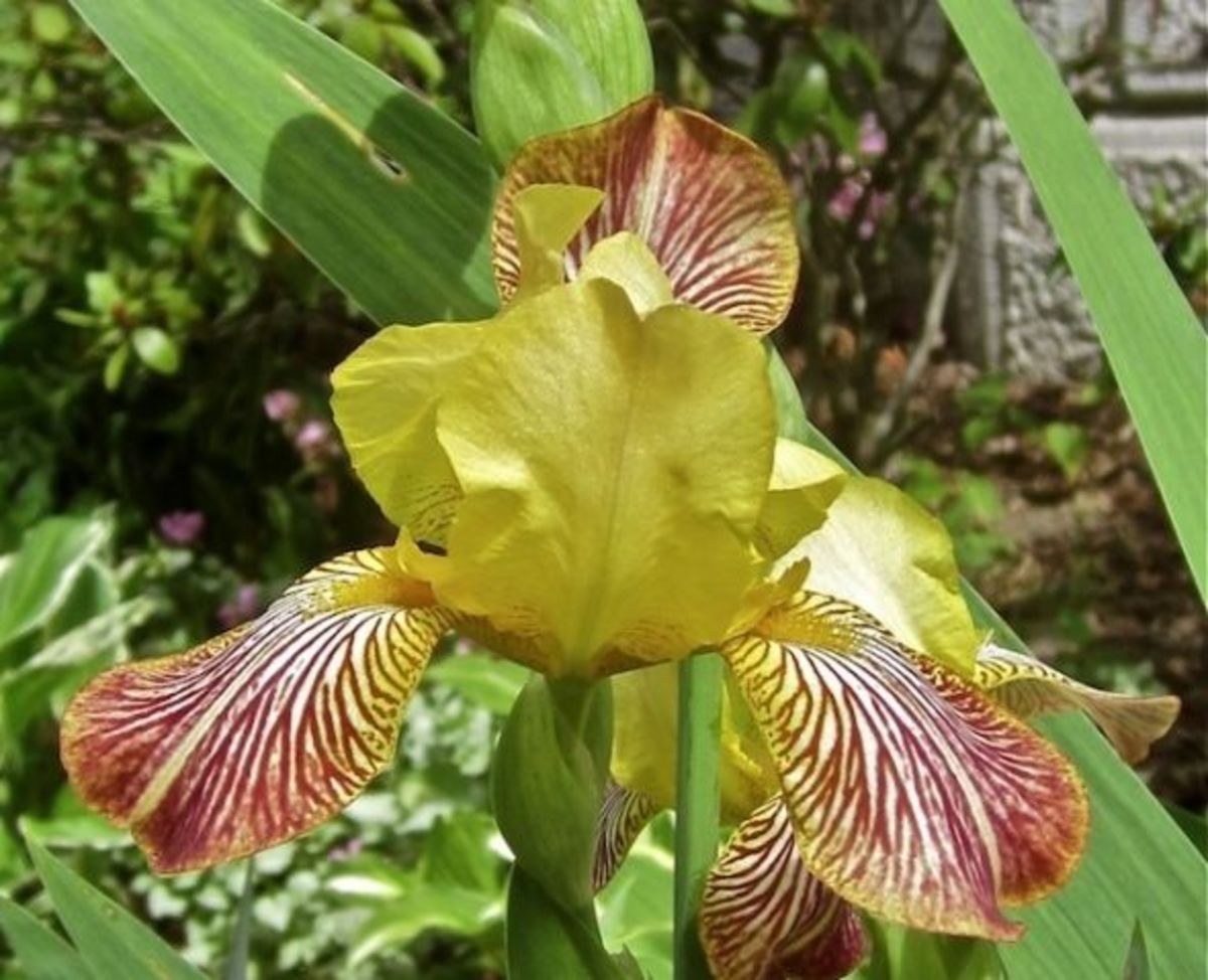 Iris Mexicana is a bearded iris with a lovely but smaller bloom. This vivacious bicolor features medium yellow standards and falls in shades of red marked with white. Height ranges from 20 inches to two feet tall.