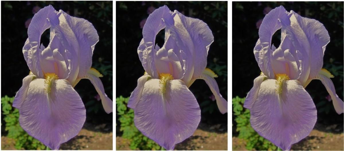 Light Blue Lilac Heirloom Iris