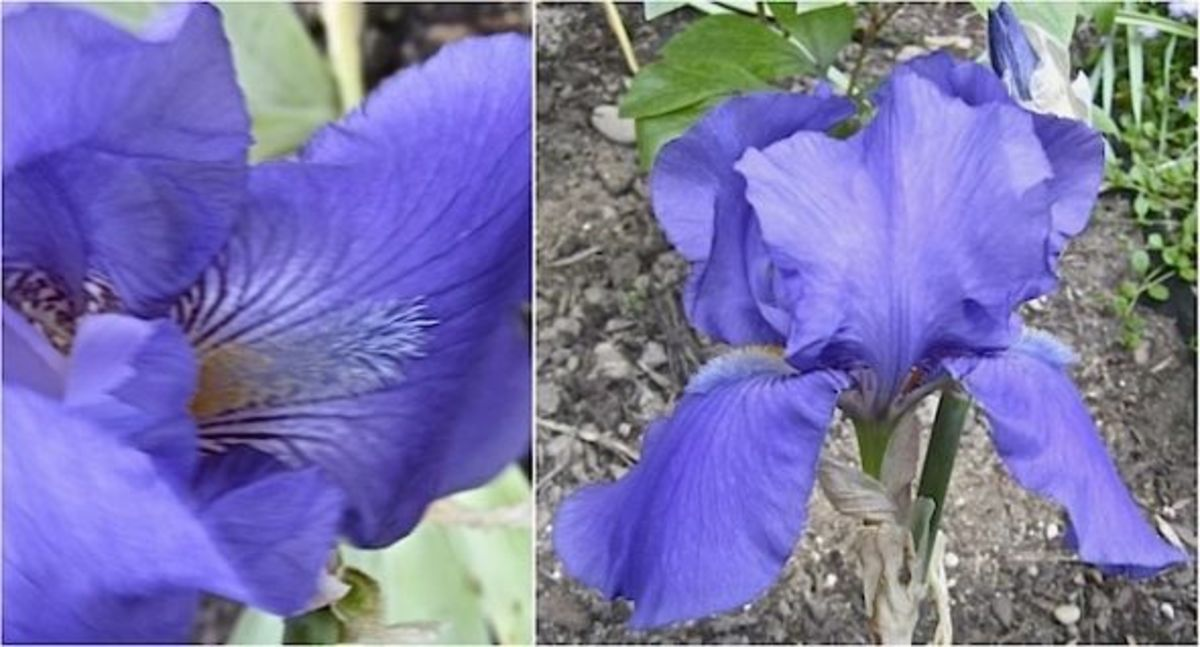Historic Bearded Iris Germanica Indigo from 1854