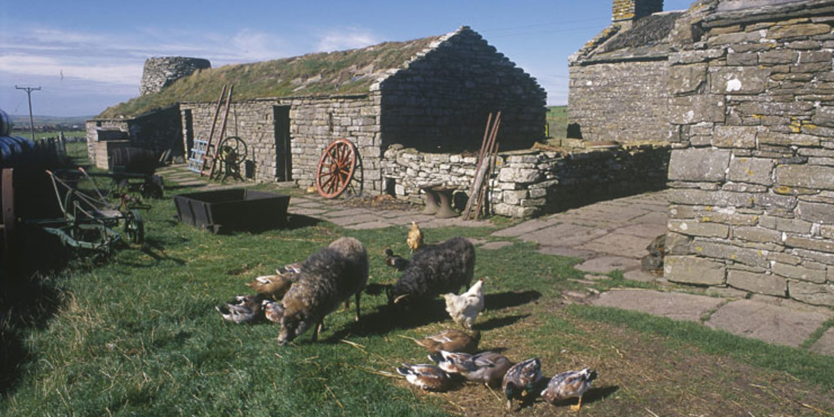 Orkney Farm Museum with the breed of sheep originally bred in Scandinavia, uniquely adapted to this part of the world