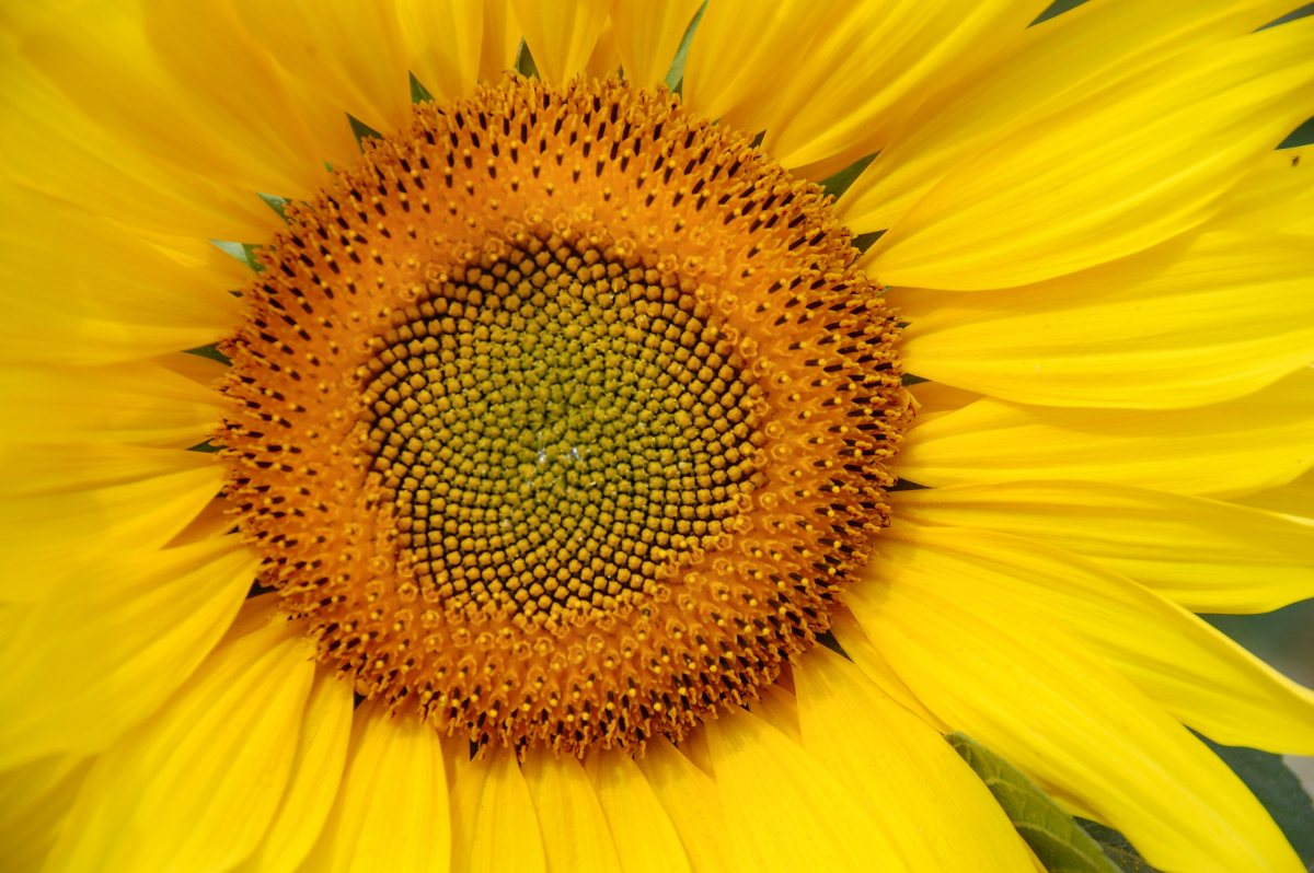 I have huge issues with sunflowers, but many people who suffer from trypophobia do not.