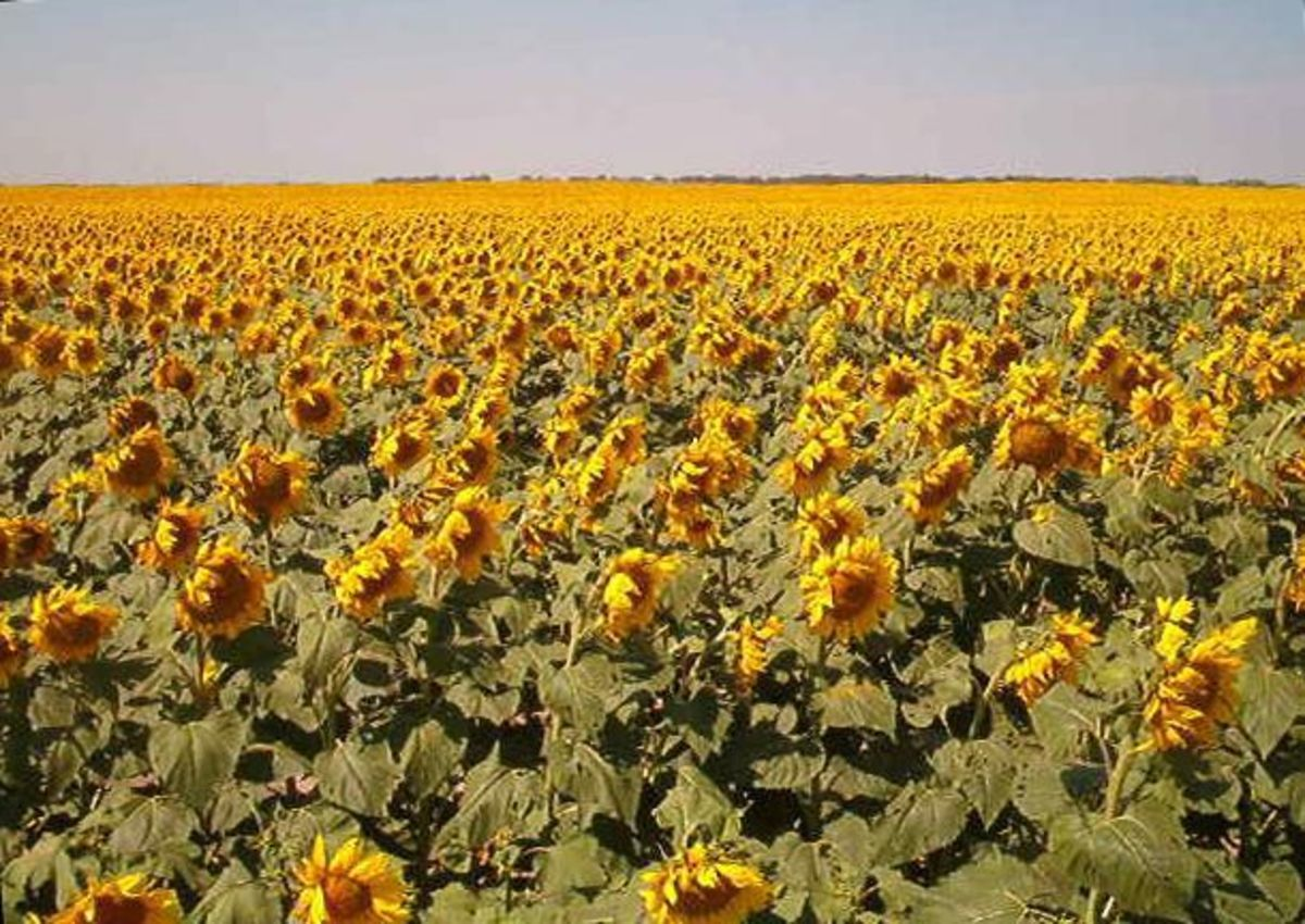 A field of sunflowers in Traill County, ND