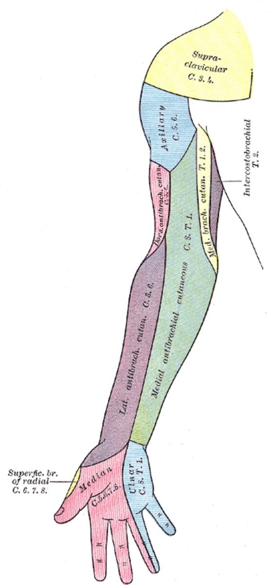 Each color coded area represents a distribution supplied by the named nerve. Knowledge of this anatomy helps the anesthesiologist place the axillary block and numb as many of the lower arm nerves as possible.