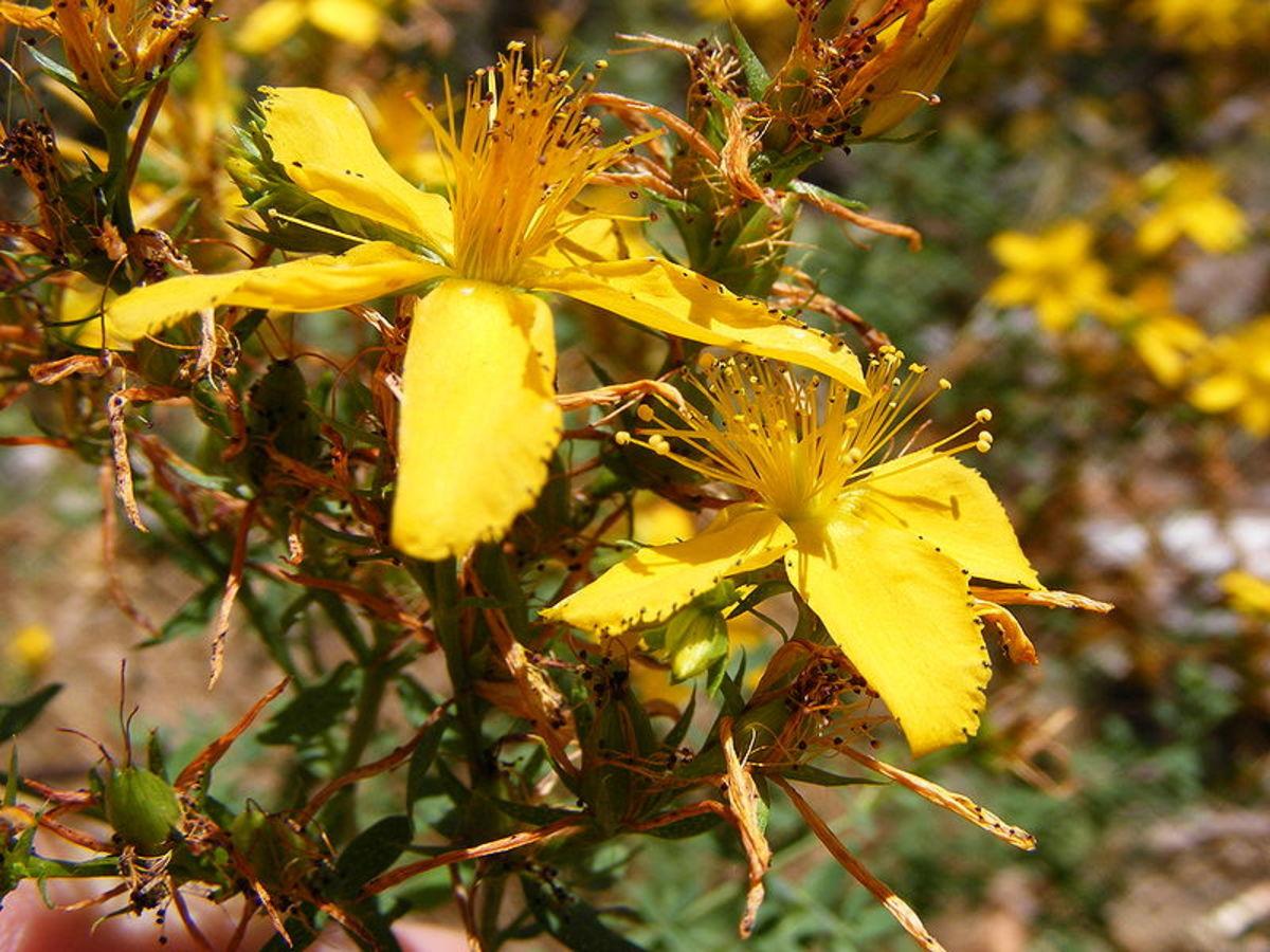 St John's Wort (Hypericum perforatum) flowers by Peripitus