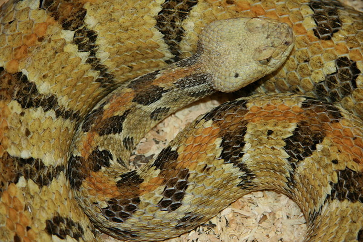 Timber rattlesnake.  By Jonathunder (Own work) [CC-BY-SA-3.0 (http://creativecommons.org/licenses/by-sa/3.0) or GFDL (http://www.gnu.org/copyleft/fdl.html)], via Wikimedia Commons