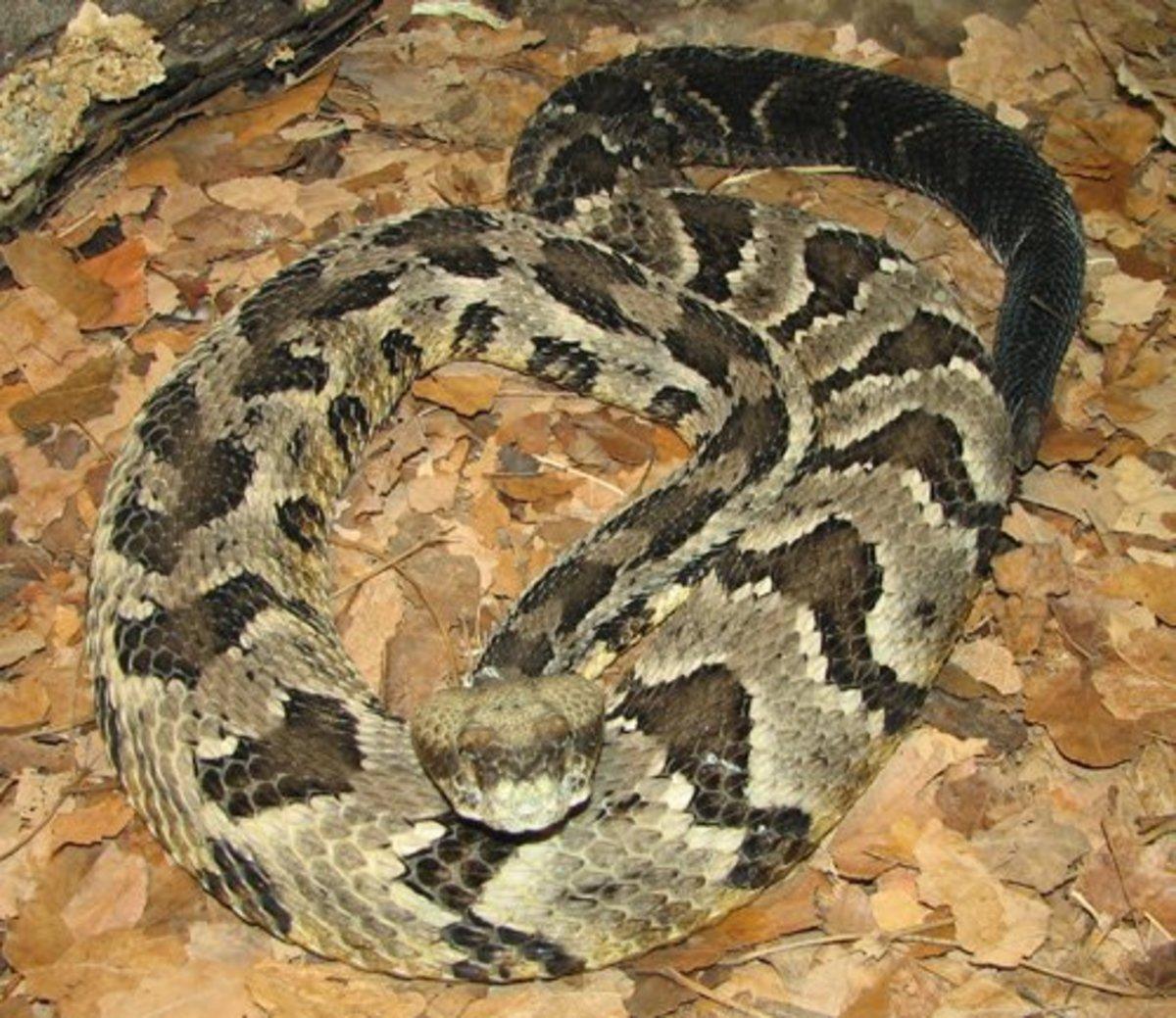 Timber Rattlesnake. Photo by by Trisha M. Shears. Public domain.