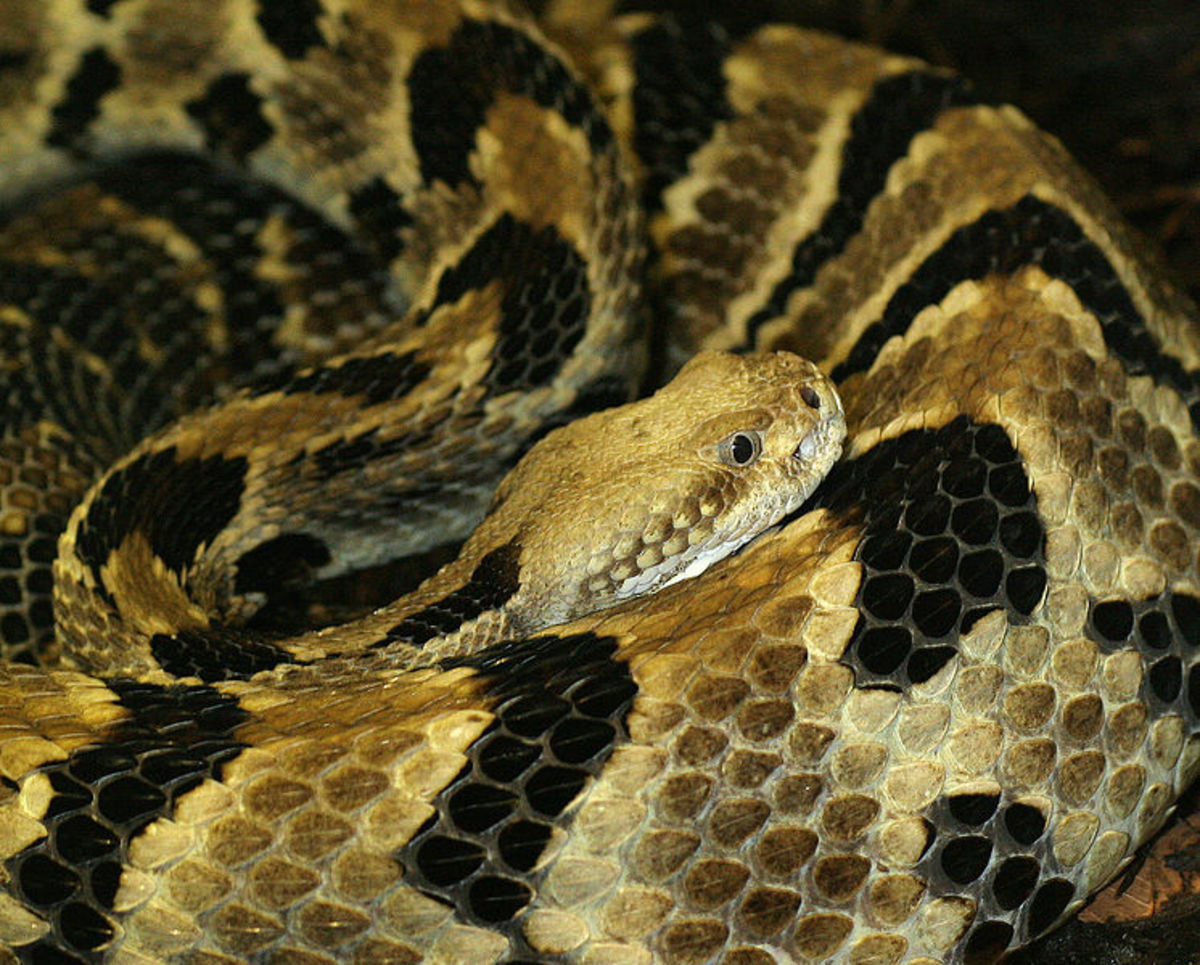 Timber rattlesnake. By Tad Arensmeier from St. Louis, MO, USA  CC-BY-2.0