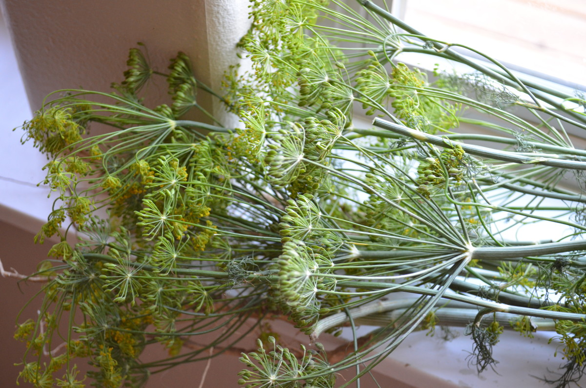 Start with fresh dill weed plants--either grow your own or pick up at the market.