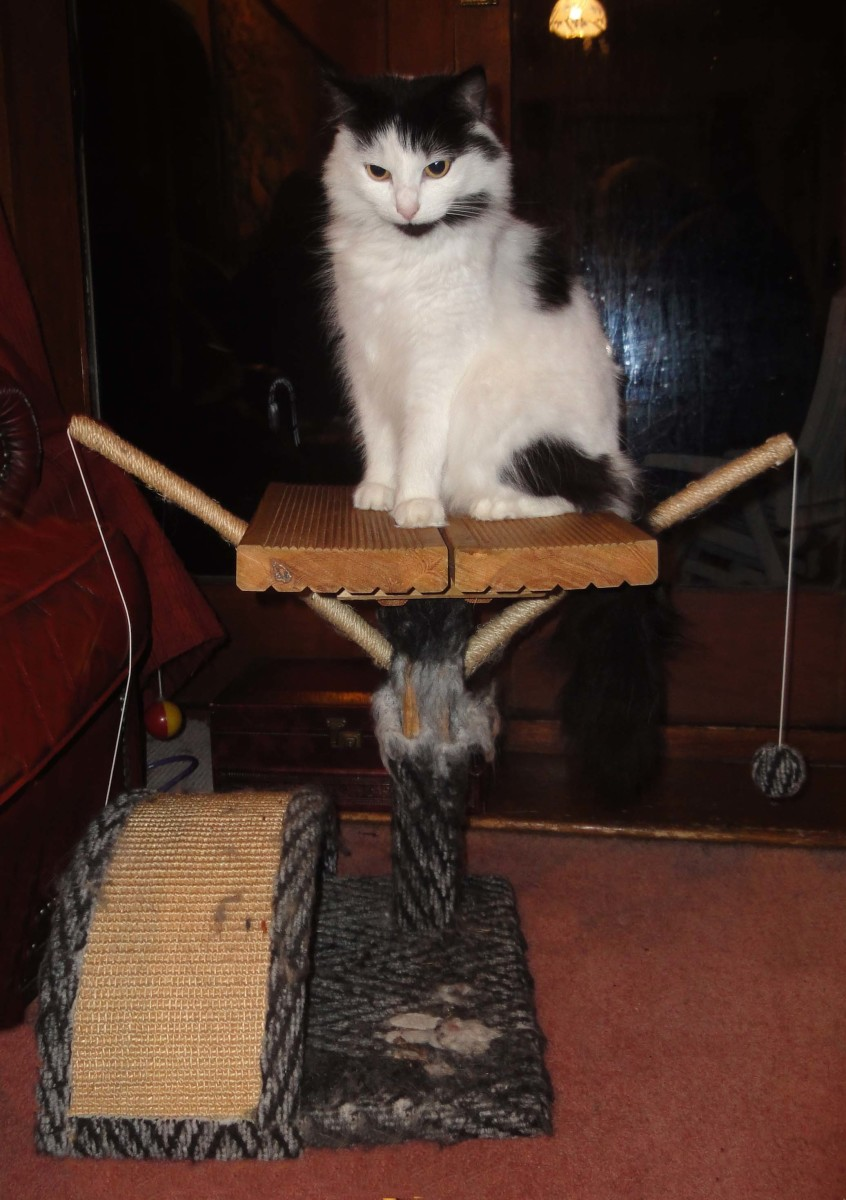Maine Coon cats and their scratching post repaired with decking.
