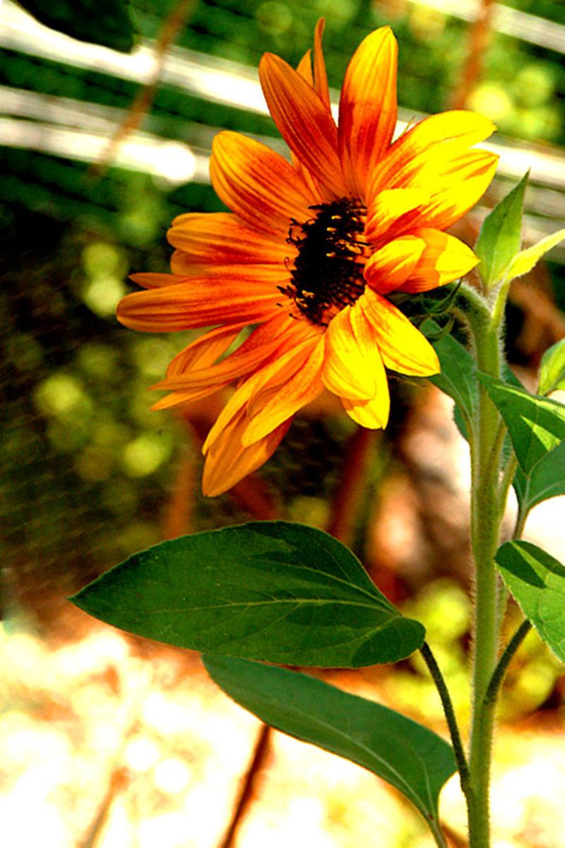 Tall Sunflower
