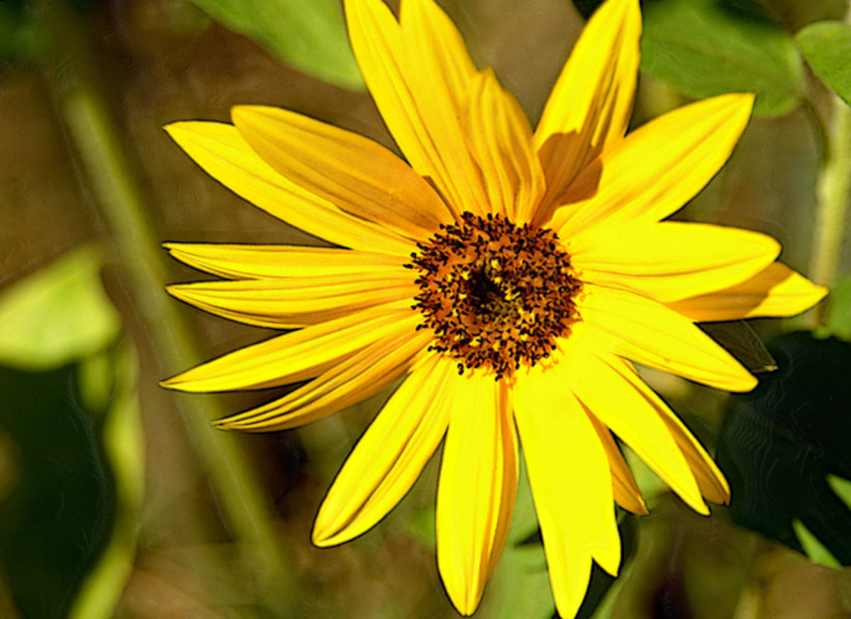 Very Yellow Sunflower