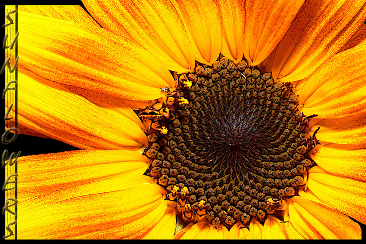 Sunflower Closeup Photo Modification