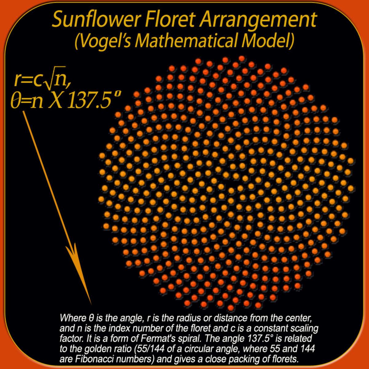 Sunflower floret mathematical arrangement.