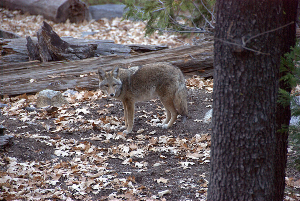 Coyote in Yosemite West