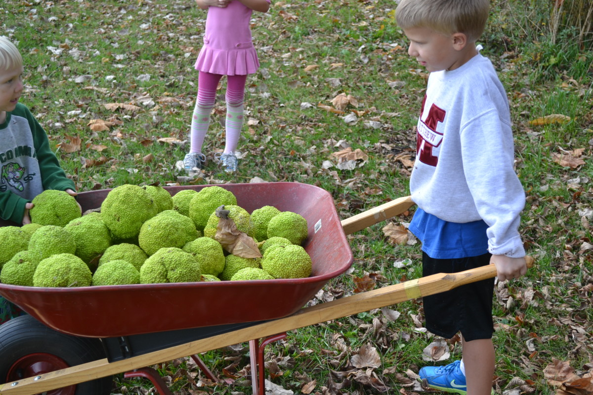 Now we needed to get our Osage oranges back to the house!