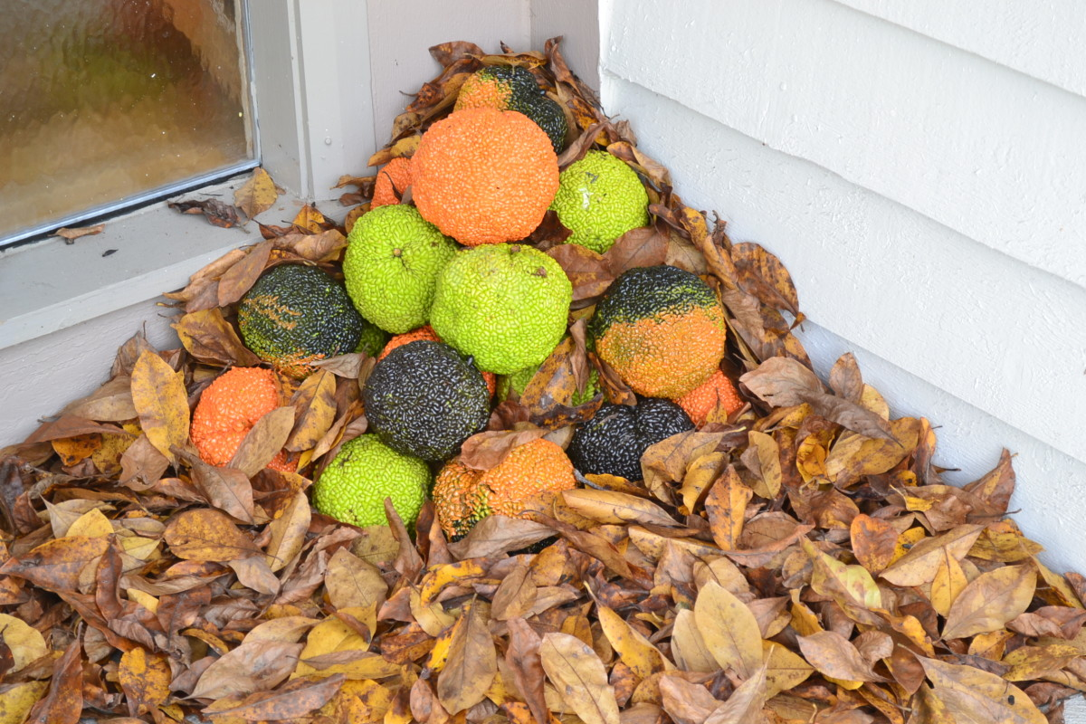 The kids enjoyed stacking the Osage oranges for a front porch decoration