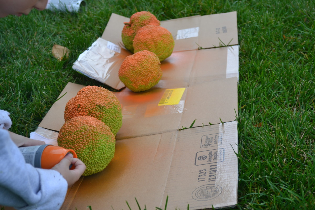 We lined up the Osage oranges and spray painted them