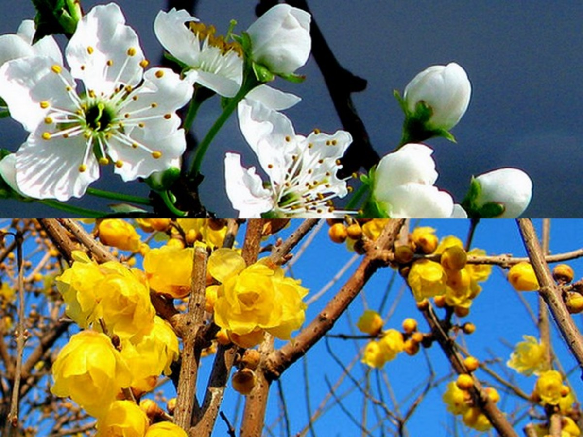 White and yellow plum blossoms are the other varieties. The red and pink are, however more significant for Chinese New Year celebration