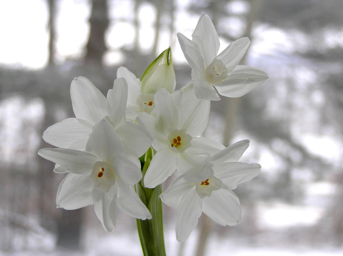 Water narcissus, also known as daffodil is Chinese symbol for good luck and fortune