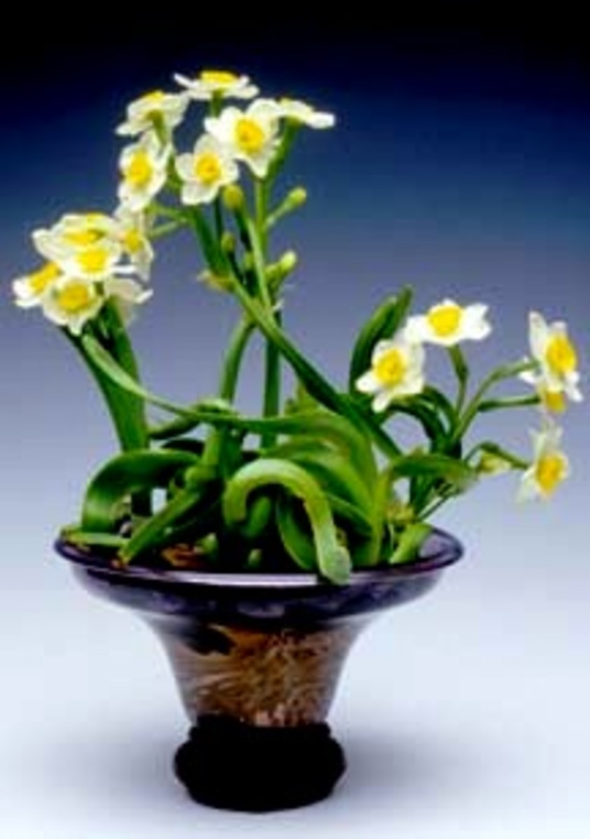 Narcissus carving is an art developed in China for more than 1000 years and this type of water narcissus is a popular plant for display during Chinese New Year