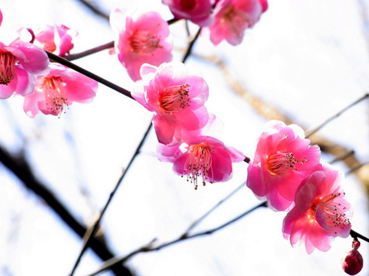 Plum blossoms will flower in the bitter winter from a branch that seems lifeless, which to the Chinese symbolizes hope and courage. A very important Chinese symbol for prosperity.
